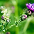 Cropped thistle by Anna Goodchild