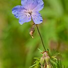 Meadow Cranesbill by Margaret S Sweeny