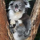 Koala in tree by kathiemt