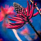 Coral Tree Flower by Chris Lord