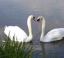 Swan Love by James Brotherton