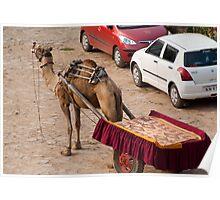Camel ready to take tourists for a desert safari Poster