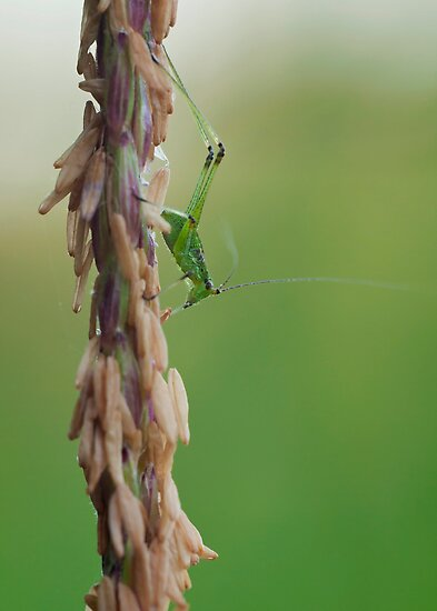 Little Grasshopper by César Torres
