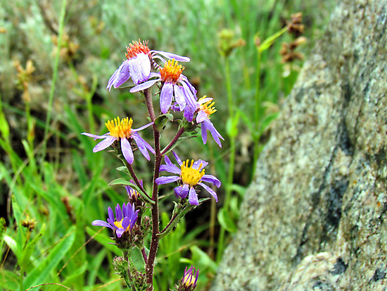 Mountain Wild Flower by Brenda Dahl