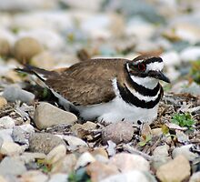 Killdeer on its nest by 313 Photography