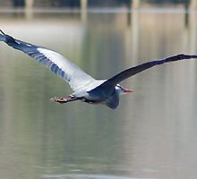 Blue Heron over Rappahannock River-Chesapeake Bay by NAH Photography