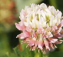 sweet summer clover by Linda  Makiej Photography