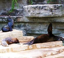 Sea Lions by Shaneface