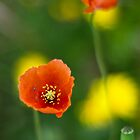 Tiny Poppies by zoundz