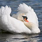 Mute Swan by zoundz