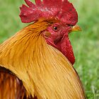 Gold Laced Cockerel by Moonlake