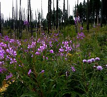 Fire In The Hills ~ Wild Fireweed ~ by Charles & Patricia   Harkins ~ Picture Oregon