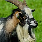Arapawa Goat by Moonlake