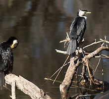 Two Cormorants on the Canning River, Perth W.A. by Sandra Chung