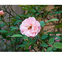 Bee exploring the pollen of a pink rose Photographic Print