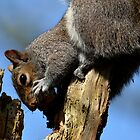 Squirrel 053 by Magic-Moments