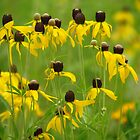 Iowa Wildflowers by lorilee