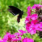 Spicebush Swallowtail, Female #4 by Paula Tohline  Calhoun