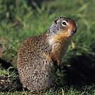 Columbian Ground Squirrel by Michael Collier