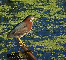 There's the Green ... Heron by Robin Clifton