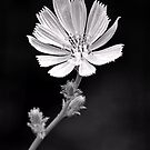 Chicory by Sharon Woerner