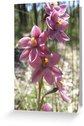 Pink Sun Orchid - Thelymitra carnea by Lydia Heap
