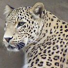 Snow Leopard - Panthera uncia by Lydia Heap