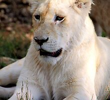 Adolescent Male White Lion by Carole-Anne