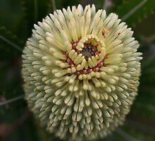 Banksia aemula by andrachne