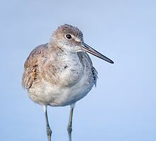 Willet by Daniel  Parent