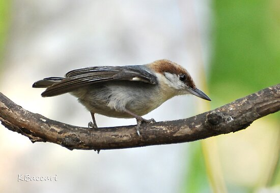 Brown Headed Nuthatch by Kathy Baccari