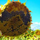 Eden Project Sunflower 2 by Amanda Clegg