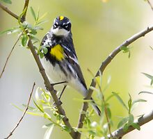 Yellowrumped Warbler by PixlPixi