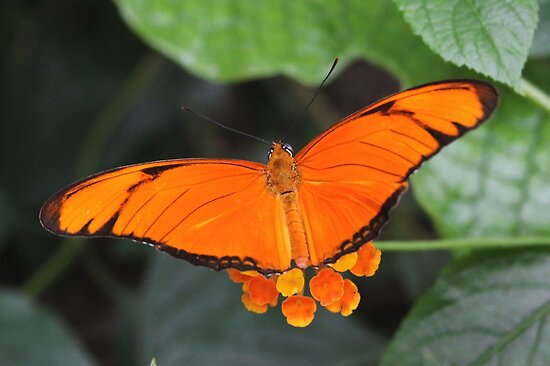 Color Match with Julia Heliconian - Dryas iulia by Lepidoptera