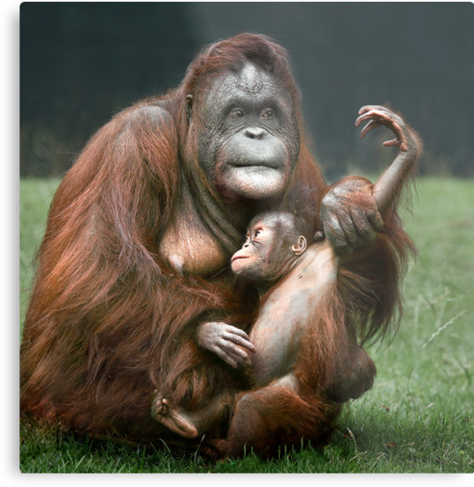 Orangutan Mother and Baby by Patricia Jacobs CPAGB LRPS BPE3