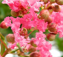 Crape Myrtle........blooming by ctheworld