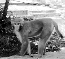 MONKEY IN NEPAL-HOW IS THIS FOR A MODELING JOB? by HEARTSFORINDIA