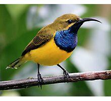 Male Sunbird Photographic Print