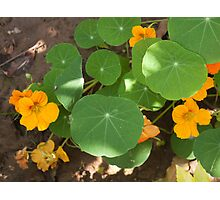 A mix of orange flowers and round green leaves with sun and shadow Photographic Print