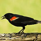 Male Red Winged Blackbird by deb cole