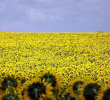 Sunflowers! by graceloves