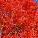 Blazing red Field Maple by Ross Sharp