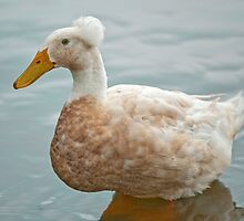 Crested Duck by Bonnie T.  Barry