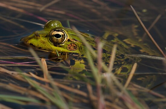Green Frog by César Torres