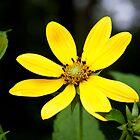 Mountain Sunflower by BluePhoenix