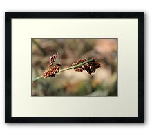 Cape Reed Grass Framed Print