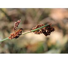 Cape Reed Grass Photographic Print