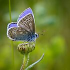 Common Blue Butterfly by Sarah Walters