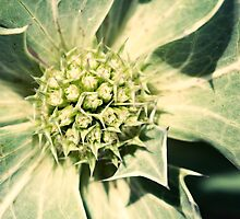 Golden Glow Sea Holly by zoundz