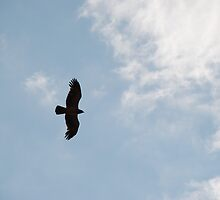 Brown Snake Eagle Flying overhead by gogston